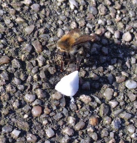 Erste Hilfe für eine Biene auf dem Weg zur Arbeit